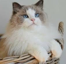 اضرار تربية القطط في المنزل