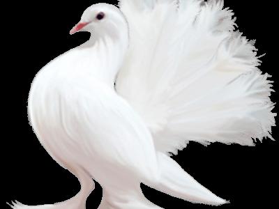سكرابز طيور بيضاء