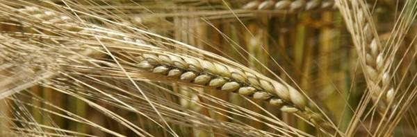 فوائد الشعير الغذائية و العلاجية